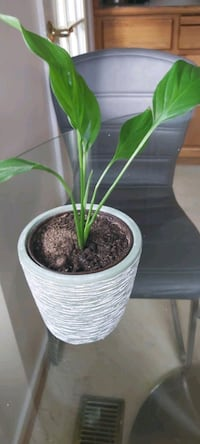 Lily plant with ceramic vase