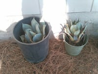 two cactus in plant pot $10.00 each Tehachapi, 93561