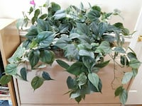 REDUCED - Artificial plant Abbotsford, V2T 5T5