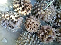Pitchy Pine Cones - Large!  Redding, 96002