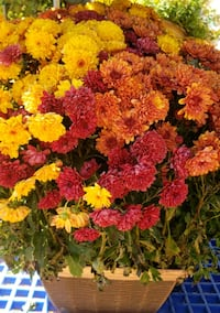 mums for sale