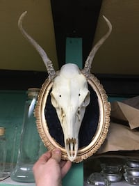 white and gray animal skull taxidermy Montréal, H2J