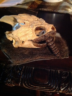 Snapping Turtle skeleton head w tail of rattlesnake