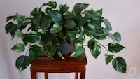 Artificial Ivy in a clay pot, 2 for sale Springfield