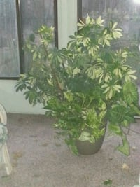 Huge healthy houseplant...4 ft tall  Turlock, 95380