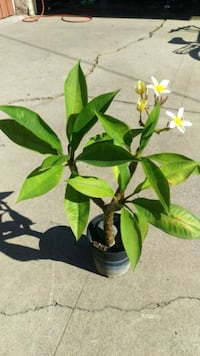 Plumeria plant in 1 gallon pot  Whittier, 90605