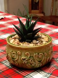 Haworthiopsis limifolia (Fairy Washboard) in decorative Jade color porcelain pot. CENTREVILLE