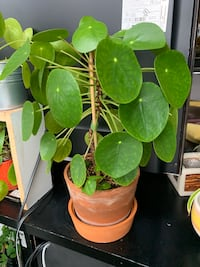 Chinese money plant *Pilea peperomioides Toronto, M5V
