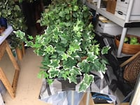 Home Decor: Artificial Ivy plants in wicker planters $8 each