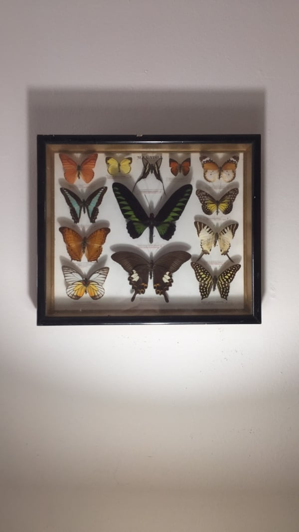 Beautiful display of butterflies are pinned framed in named a2b42730-a32c-45d5-b8a7-04c23e61f431