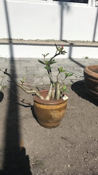 Desert rose bonsai  Miami Beach, 33141