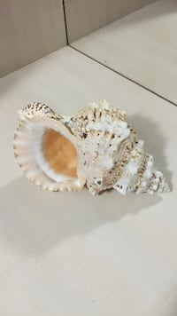 Used White And Brown Conch Shell For Sale In Oakland Park