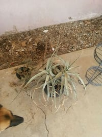 Two plants that need some TLC  Palmdale, 93550