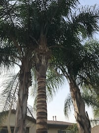 Palm tree trimming  Upland