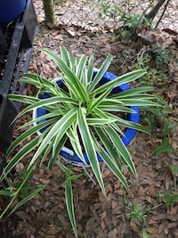 2 type of spider plant Gulfport, 39501