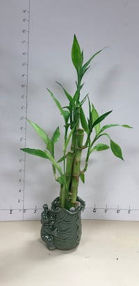 Lucky bamboo in elephant pot for prosperity and good fortune  Reno, 89502