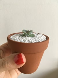 Adorable Baby Succulent Plants - Great Party Or Wedding Favours!