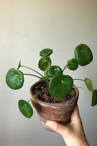 "Pilea Peperomioides ""Chinese Money Plant"" College Park, 20740"