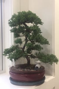 Bonsai tree  - invitation to treat