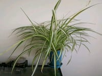 Large flowering spider plant