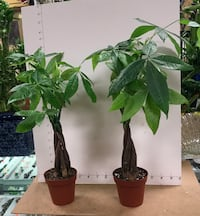 Just arrived! Small money tree $11/each, 2 for $20 Reno, 89502