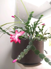 Christmas Real  Plant (with pot ) Toronto, M2N 0A5