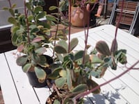 Large flowering spreading plant, red buds, $7 each or 3 for $20