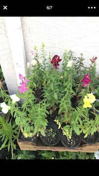 Multiple colors of Perennial snapdragon flower in a single pot Aurora, 80012