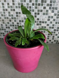 Fern with decorative pink ceramic pot Hampstead, H3X 1S2