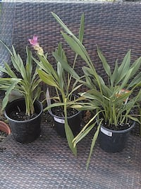 Tumeric / Curcuma flowers plant  West Palm Beach, 33411