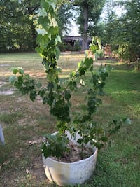 2 maple trees in planter China Grove, 28023