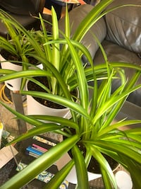 Healthy, green potted spider plants Calgary, T2E 5Z6