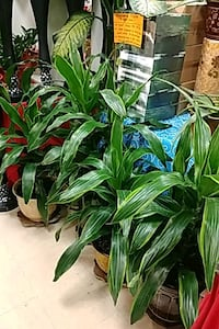 Dracaena indoor plant with ceramic pot Toronto, M1B 0A7