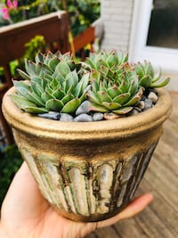 Healthy succulent pot
