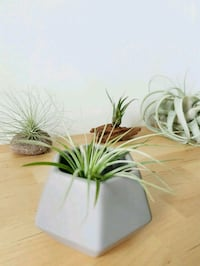 Airplant in pot Singapore