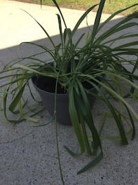 Healthy Spider Plant. Newly potted in Miracle Grow in a 10 inch pot. Virginia Beach, 23456