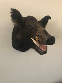 Boar Head taxidermy Glendale, 91205
