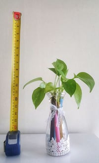 Pothos Aquatic plant New Westminster, V3M 1K2