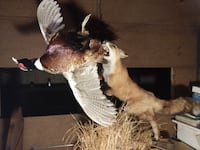 Mounted Red Fox & Pheasant Danbury