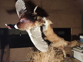 Mounted Red Fox & Pheasant