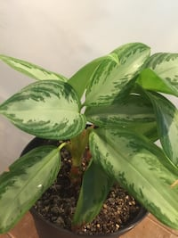 Nice and healthy house plant  Aurora, 80012