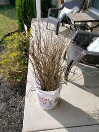 willow branches 24 to 36 inches tall. Used in wedd Sellersburg, 47172
