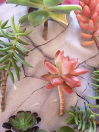 Succulent clippings many to choose from  San Diego, 92115