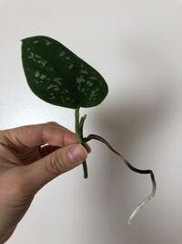 Satin pothos cutting Falls Church, 22042