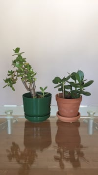 two green leaf plant and brown pots Brossard, J4X 2K9