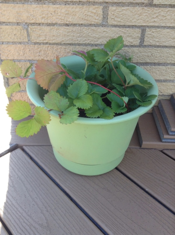 Planter with strawberry plants inside
