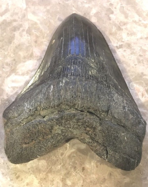 BEAUTIFUL AUTHENTIC MEGALODON SHARK TOOTH 5 5