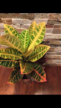 Beautiful colorful house plant in the new pot Aurora, 80012