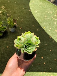 Succulent plants in a glass  Los Angeles, 91605