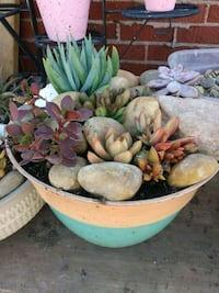 succulent plant with pot Odessa, 79763